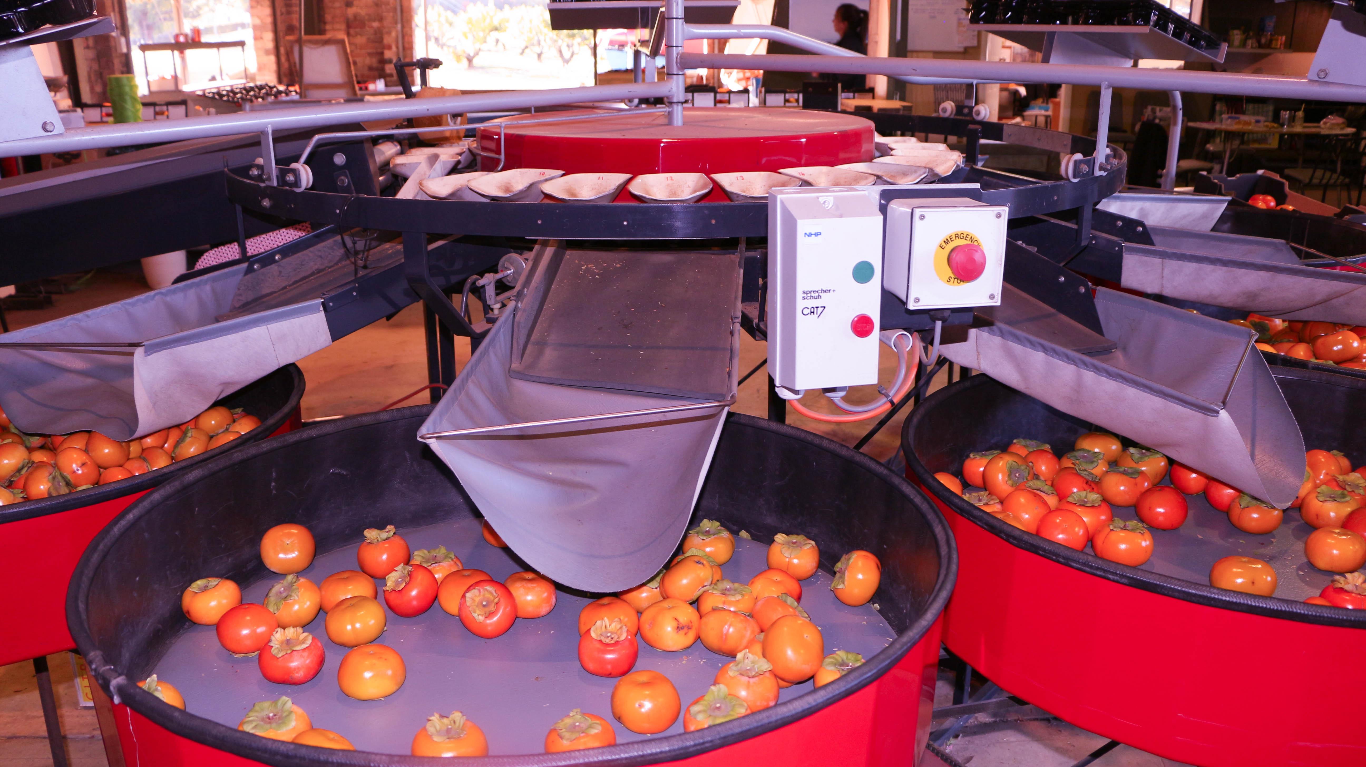 Persimmon sorting machine