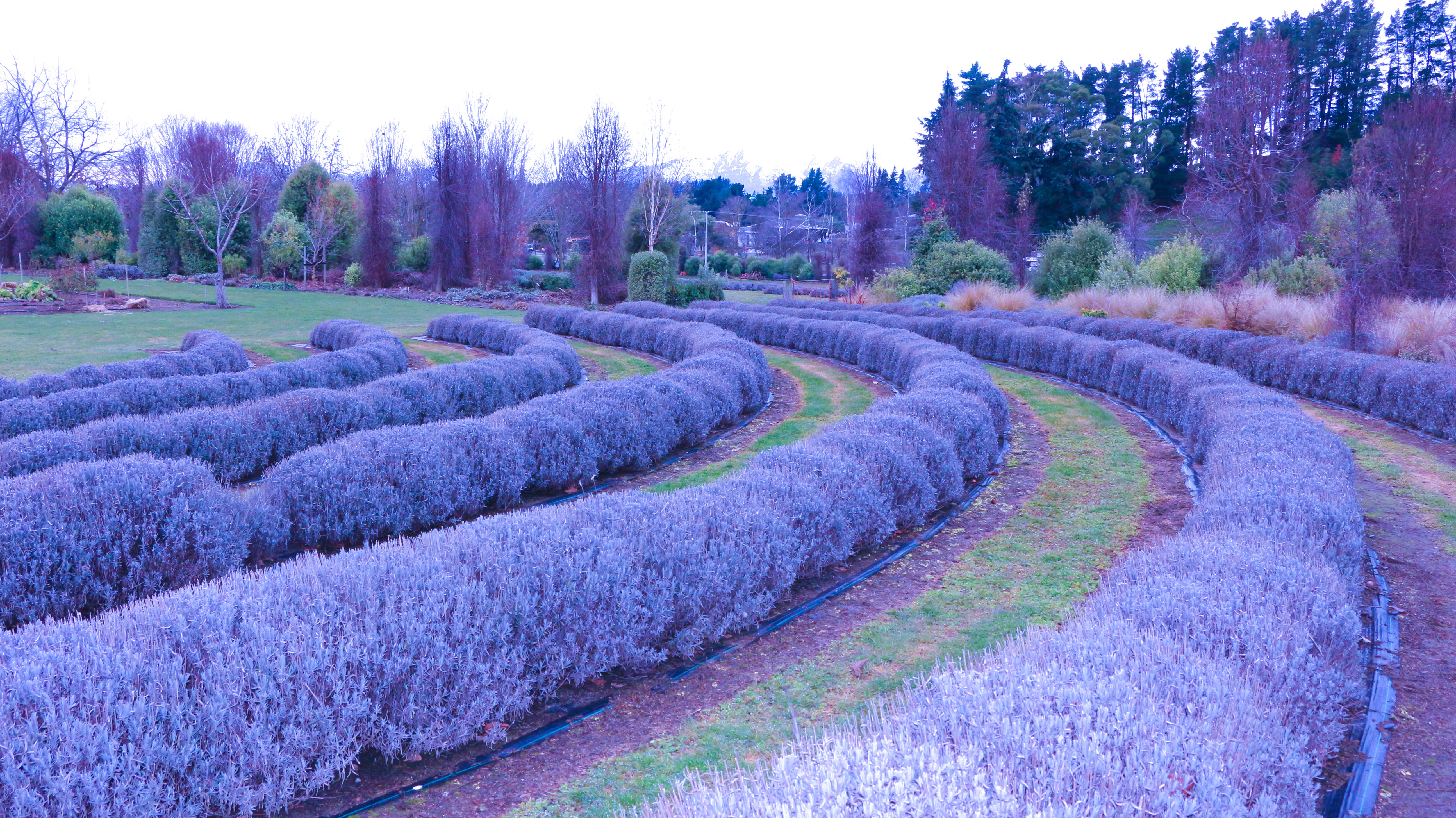 Lavender Farm blog