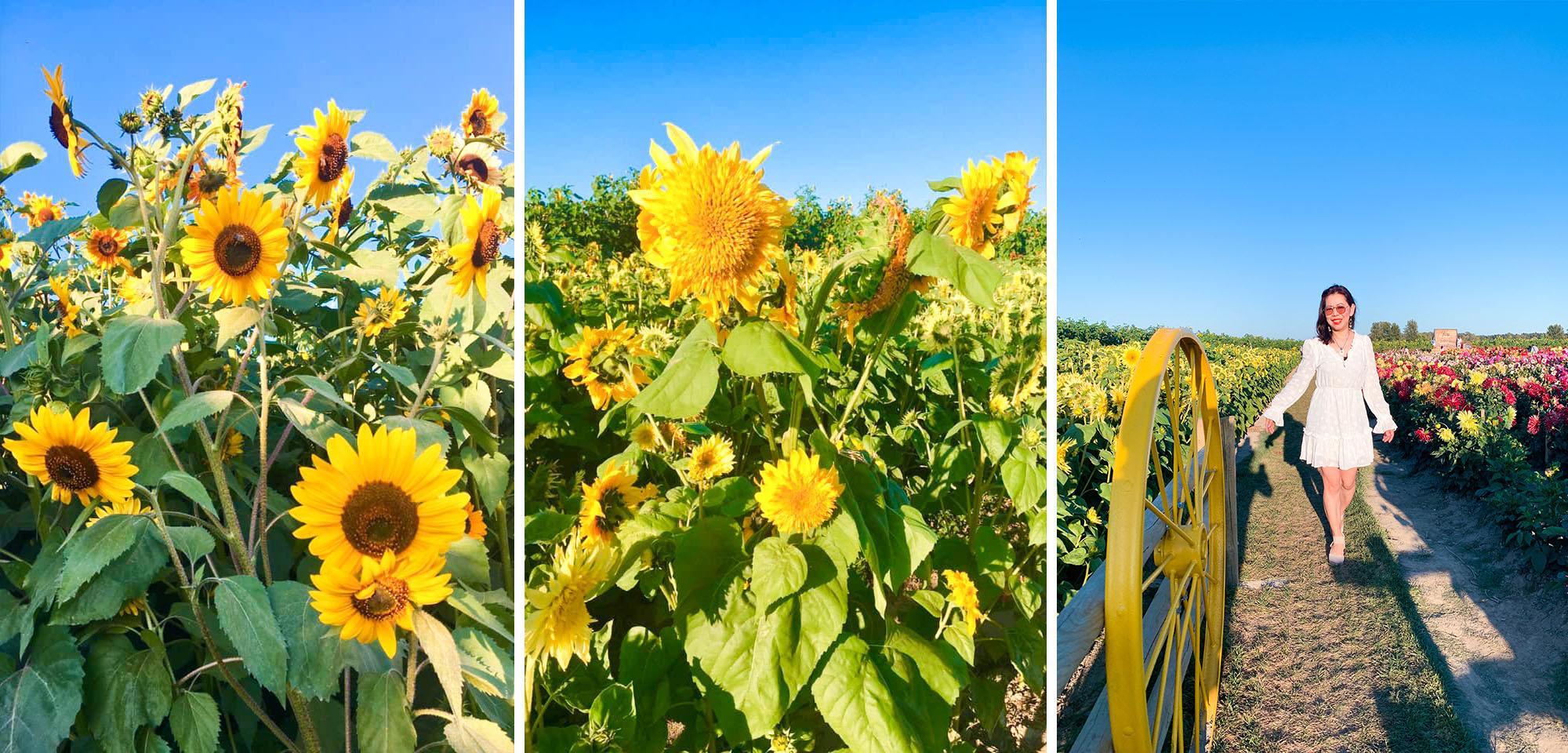 Varieties of Sunflower blog